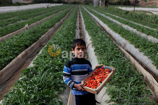 A Palestinian boy helps farmers harvest strawberries from a field in Beit Lahia, in the northern Gaza Strip, on December 10, 2013. Some 250 acres of strawberry crop are cultivated in these fields yielding some 2500 tons of fruit, some of which will be exported to European countries, helping the stagnant economy of the enclave. Photo by Ashraf Amra