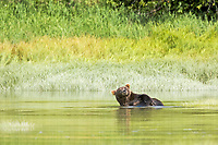 A kodiak grizzly bear (Ursus arctos middendorffi) hangs out in the water at Kukak Bay