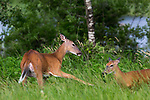 White-tailed doe chasing away yearling