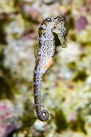 Longsnout Seahorse, Syngnathidae Hippocampus reidi