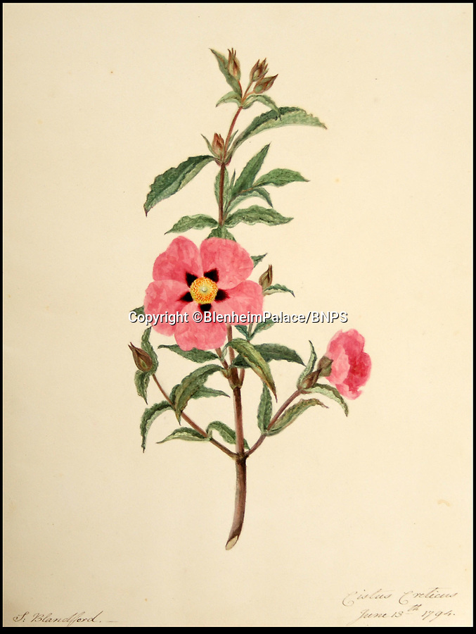 BNPS.co.uk (01202 558833)Pic: BlenheimPalace/BNPS'Cistus creticus' from June13th 1794.<br /> <br /> The stunning Blenheim Palace estate - a new exhibition reveals the vast estate was brought to its knees by an obsession with flower's.<br /> <br /> A previously unseen set of delicate flower painting's put on show at Blenheim Palace actually reveal a Georgian obsession that brought down the 5th Duke of Marlborough.<br /> <br /> The 18th century watercolour's by the Susan Spencer-Churchill, the 5th Duchess, have just been put on display her Oxfordshire home for the first time.<br /> <br /> But the story behind the beautiful paintings uncovers the expensive fascination of the late Geogian aristocracy for the new found craze of plant hunting, which the Duke carried on to such an extent that his vast estate was actually plunged into insolvancy.