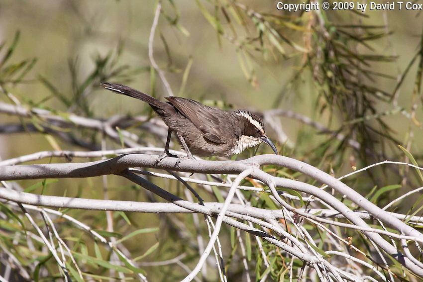 White-Browed Babbler, Alice Springs Desert Park, NT, Australia