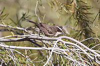 White-Browed Babbler, Alice Springs Desert Park, NT, Australia
