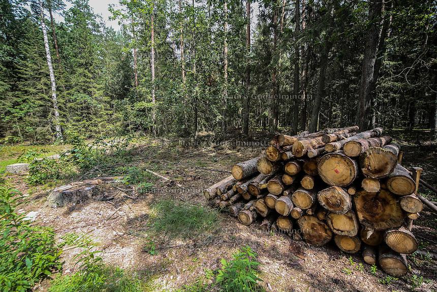 Foresta di Bialowieza I primi tagli del bosco The first cuts of the wood