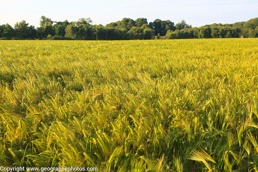 Crop of barley growing in field, Shottisham, Suffolk Sandlings, England, UK