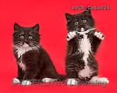 Xavier, ANIMALS, REALISTISCHE TIERE, ANIMALES REALISTICOS, cats, photos+++++,SPCHCATS838,#A#