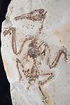 Longirostravis hani, Chinese feathered dinosaur, Mesozoic