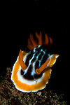 Magnificent Chromodoris nudibranch, Chromodoris magnifica, Lembeh Strait, Bitung, Manado, North Sulawesi, Indonesia, Pacific Ocean