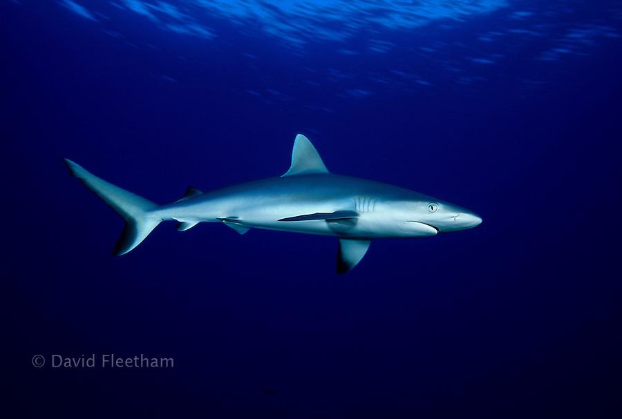 The perfect portrait of a Hawaiian predator, the grey reef shark, Carcharhinus amblyrhynchos, Hawaii.