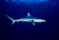The perfect portrait of a Hawaiian predator, the grey reef shark, Carcharhinus amblyrhynchos, Hawaii.