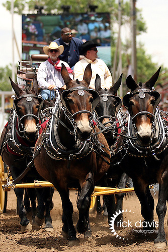 a four mule hitch wagon displayed for the crowd at the annual Greeley Independence Stampede Rodeo in Greeley, Colorado.