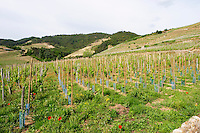 vineyard cornas rhone france