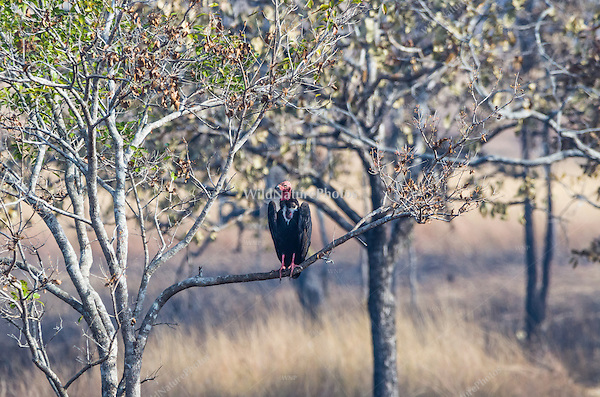 "Critially endangered Red-headed Vulture (Sarcogyps calvus) perched in a tree near a dead cow at a ""vulture restaurant."" (Cambodia)"