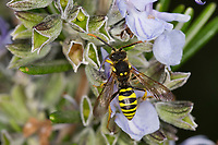 Gegürtete Wespenbiene, Wespenbiene, Männchen, Wespenbienen, Nomada succincta, Yellow-Legged Nomad-Bee, male