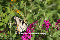 03023-02817 Eastern Tiger Swallowtail Butterfly (Papilio glaucus) on Miss Molly Butterfly Bush (Buddleia x 'Miss Molly'), Marion Co., IL