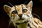 Ocelot (Leopardus pardalis), Costa Rica. Captivity