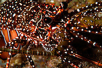 nr0406-D. Spotted Spiny Lobster (Panulirus guttatus). Belize, Caribbean Sea.<br /> Photo Copyright &copy; Brandon Cole. All rights reserved worldwide.  www.brandoncole.com