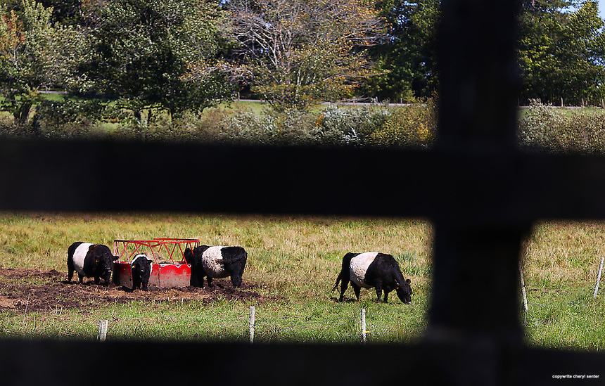 Area shots in Rockport, ME, Tuesday, Sept. 25, 2012.  belted galloway cows.  (Cheryl Senter  /AP Images for Maine Office of Tourism)