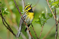 Adult male Townsend's Warbler (Dendroica townsendi) in breeding plumage singing. Pend Oreille County, Washington. May.