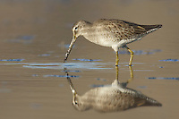 Long-billed Dowitcher - Limnodromus scolopaceus - winter adult