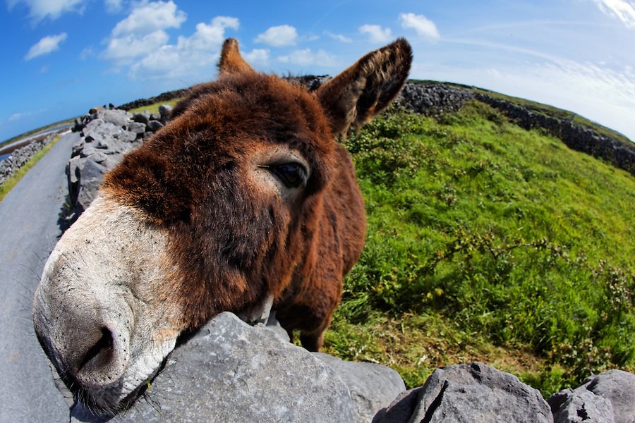 Donkey in pasture resting chin on rock wall, Inishmore, Aran Islands, County Galway, Republic of Ireland