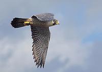 Adult peregrine falcon in flight over Boundary Bay, British Columbis, Canada