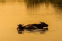 Water buffalo, Yala National Park, Southern Province, Sri Lanka.