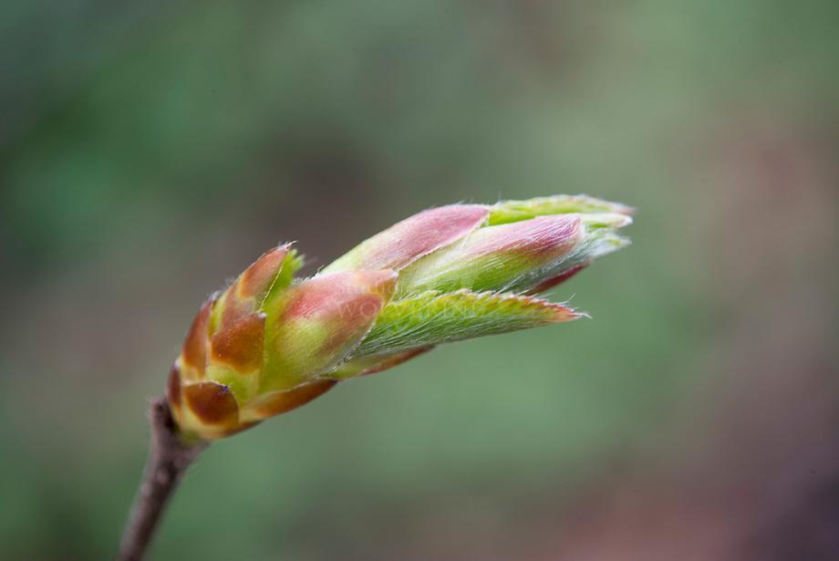 Haagbeuk (Carpinus betulus), bottende knop