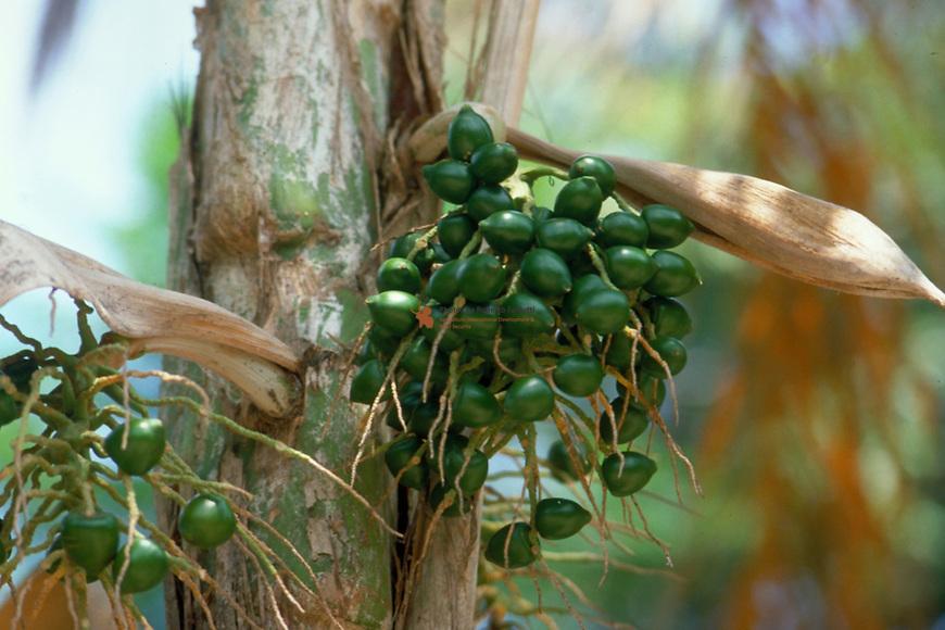 "Close up of fruits of ""Chonta or Pupunha"" (Bactris gasipae)"