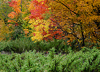 A forest edge shows maple and other autumn foliage against a foreground of Juniper shrub, Door County, Wisconsin