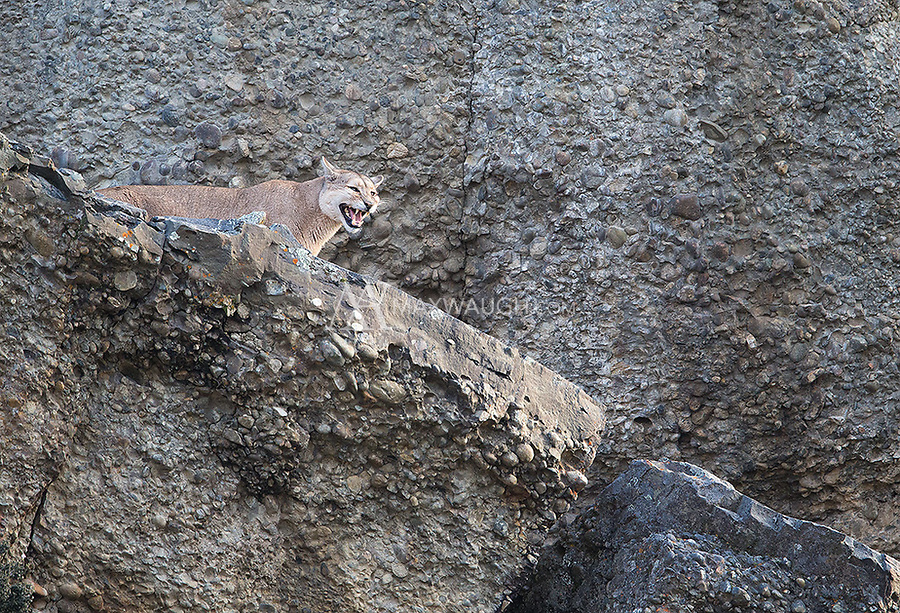 A female puma calls out, letting any males in the area know she is ready to mate.  Though she made advances toward the big dark male that was following her, he was not willing to give her what she wanted at the time.  Her frustration was obvious.