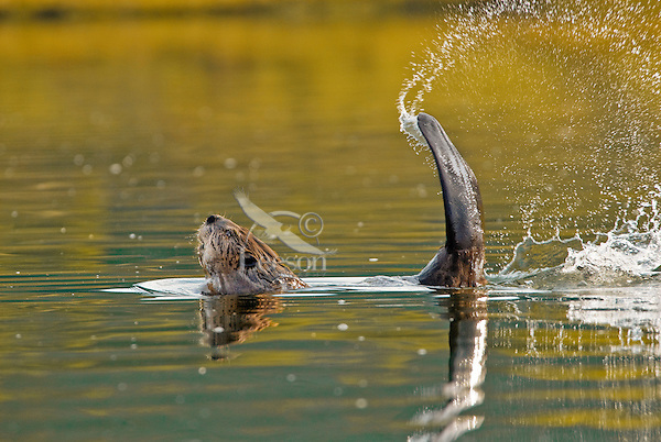 American Beaver (Castor canadensis) slapping its tail as a warning to other beaver that an intruder is about.  Western U.S., spring.