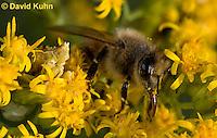 "1210-0910  Camouflaged Ambush Bug (Phymata spp.) Adult on Goldenrod Hunting a Honeybee (Apis mellifera) ""Virginia""  © David Kuhn/Dwight Kuhn Photography"