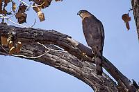 Cooper's Hawk - Accipiter cooperii - adult
