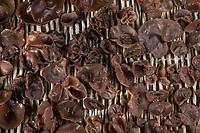 Judasohr, Judasohren auf einem Tablett trocknen, Pilze trocknen, Trocknung, Pilzernte, Pilze sammeln, Ohrlappenpilz, Holunderschwamm, Judas-Ohr, Ohrlappen-Pilz, Holunder-Schwamm, Holunderpilz, Mu-Err, Auricularia auricula-judae, Hirneola auricula-judae, Auricularia auricula, Auricularia sambucina, Jew's ear, wood ear, jelly ear, drying, dehydration, Oreille de Judas, Oreille du diable