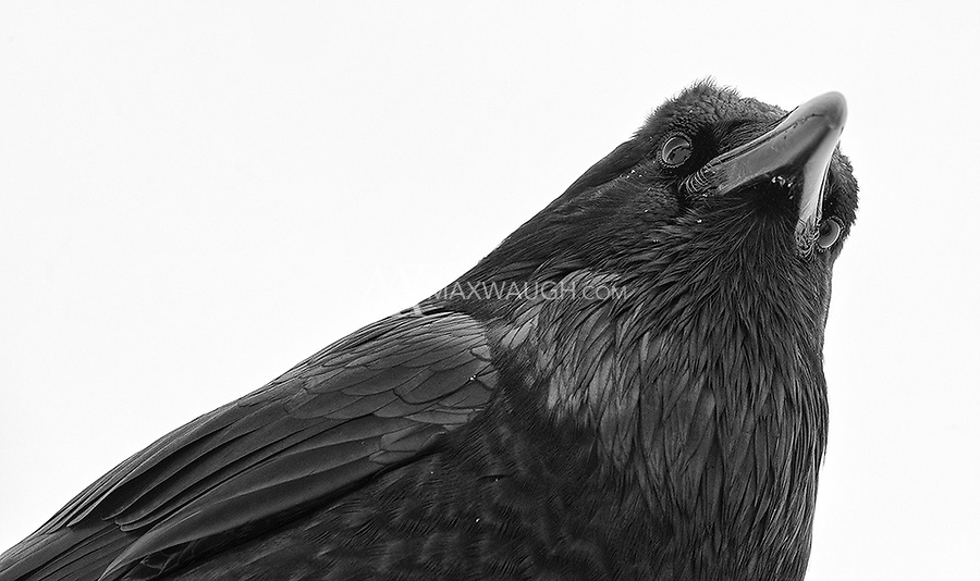 A raven eyes the photographer while perched on a rooftop near Old Faithful.