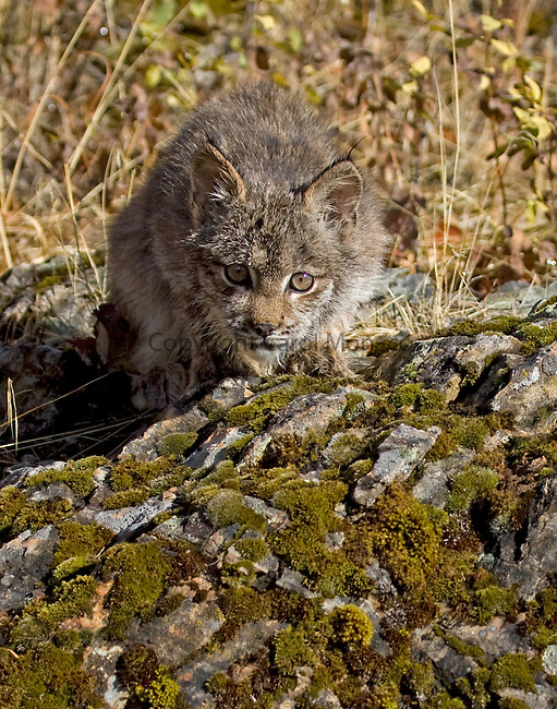A threatened Canada lynx cub sitting on a rock, with an intent look on its face (about to pounce), Montana, North America