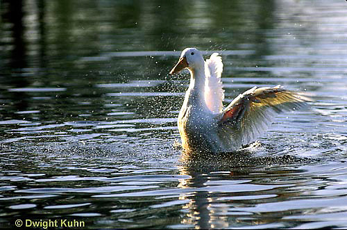 DG13-029x  Pekin Duck - adult duck splashing and swimming in pond