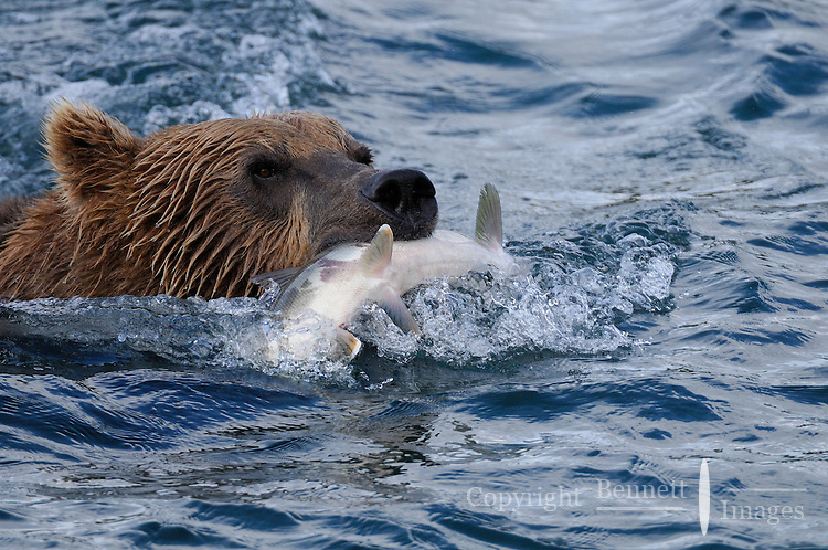 A brown bear swims to shore with a salmon it caught at the McNeil River Falls, in Alaska's McNeil River State Game Sanctuary.