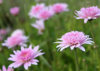 Stock image of pink Gerbera daisy wild field in Cyprus.