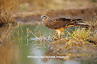 00803-008.03 Northern Harrier (Circus cyaneus) female drinking at water Starr Co.  TX