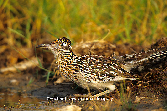 01107-00408 Greater Roadrunner (Geococcyx californianus)  at water Starr Co. TX