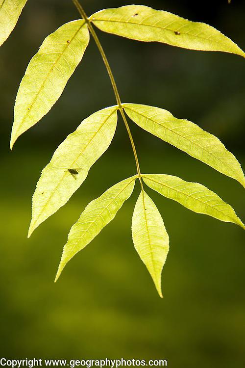 Sunshine shining through green leaves on a ash tree illustrating photosynthesis, UK