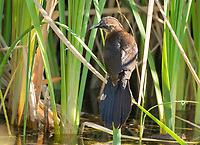 A female Great-tailed Grackle, Quiscalus mexicanus, perches in reeds in Papago Park, part of the Phoenix Mountains Preserve near Phoenix, Arizona