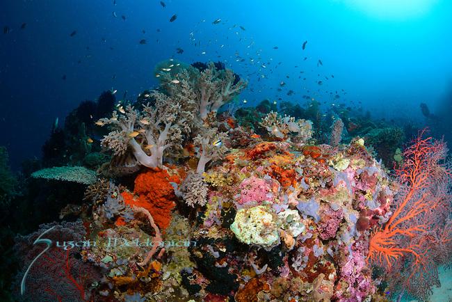 Colorful Reef , Larantuka, eastern end of Flores Island, East Nusa Tenggara, Indonesia. ,