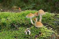 Rauchblättriger Schwefelkopf, Graublättriger Schwefelkopf, Milder Schwefelkopf, Hypholoma capnoides, Conifer Tuft