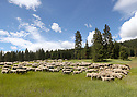 A large flock of sheep graze in a grassy mountain meadow under blue skies and clouds. Stock photography by Olympic Photo Group