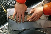 Rotauge, Plötze, wird von einem Fischereibiologen vermessen, Forschung, Fischereibiologie, Rutilus rutilus, roach