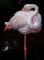 Close up of Flamingos at the Wildlife and Bird Sanctuary Langkawi, Malaysia