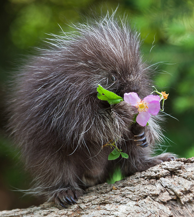 Young Porcupine eating a wild rose - CA